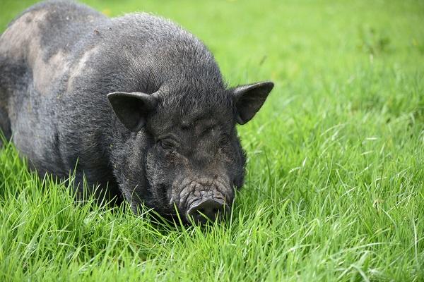 Photo de cochon